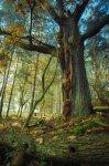 Jakub Spodymek fotografia przyrodnicza Las dąb