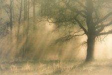 Jakub Spodymek fotografia przyrodnicza las dąb mgła