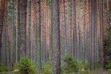 Jakub Spodymek fotografia przyrodnicza drzewa las sosnowy