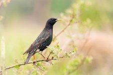 Jakub Spodymek fotografia przyrodnicza ptaki szpak