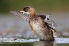 Jakub Spodymek fotografia przyrodnicza ptaki perkozek zwyczajny Tachybaptus ruficollis