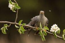 Jakub Spodymek fotografia przyrodnicza ptaki kukułka