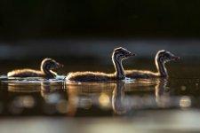 Jakub Spodymek fotografia przyrodnicza ptaki perkozy dwuczube