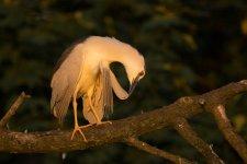 Jakub Spodymek fotografia przyrodnicza ptaki ślepowron