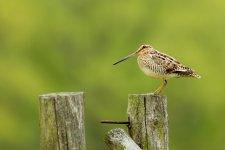 Jakub Spodymek fotografia przyrodnicza ptaki kszyk bekas