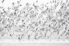 Jakub Spodymek fotografia przyrodnicza ptaki mewa śmieszka Chroicocephalus ridibundus