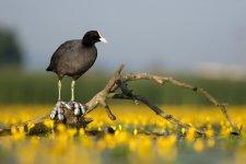 Jakub Spodymek fotografia przyrodnicza ptaki łyska