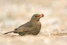 Jakub Spodymek fotografia przyrodnicza ptaki kos