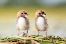 Jakub Spodymek fotografia przyrodnicza ptaki rybitwa białowąsa