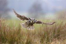 Jakub Spodymek fotografia przyrodnicza ptaki Sowa jarzębata Surnia ulula ptak