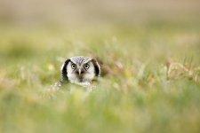 Jakub Spodymek fotografia przyrodnicza ptaki Sowa jarzębata Surnia ulula