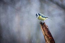 Jakub Spodymek fotografia przyrodnicza ptaki Modraszka