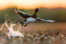 Jakub Spodymek fotografia przyrodnicza ptaki świstun Mareca penelope