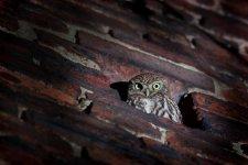 Jakub Spodymek fotografia przyrodnicza ptaki pójdźka sowa Athene noctua