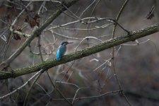 Jakub Spodymek fotografia przyrodnicza ptaki zimorodek Alcedo atthis ptak