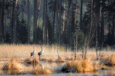 Jakub Spodymek fotografia przyrodnicza ptaki żuraw grus grus zlotowisko klangor