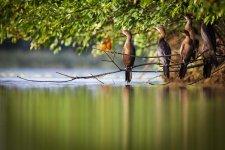 Jakub Spodymek fotografia przyrodnicza ptaki kormoran mały