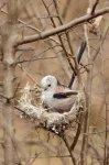 Jakub Spodymek fotografia przyrodnicza ptaki gniazdo raniuszka raniuszek zwyczajny Aegithalos caudatus