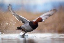 Jakub Spodymek fotografia przyrodnicza ptaki Głowienka