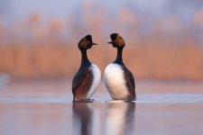 Jakub Spodymek fotografia przyrodnicza ptaki zauszniki