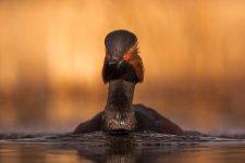 Jakub Spodymek fotografia przyrodnicza ptaki zausznik