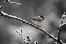 Jakub Spodymek fotografia przyrodnicza ptaki ptak sikora czarnogłówka czarnogłowa Poecile montanus