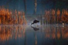 Jakub Spodymek fotografia przyrodnicza ptaki Ibis kasztanowaty Plegadis falcinellus