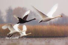 Jakub Spodymek fotografia przyrodnicza ptaki Łabędź czarny