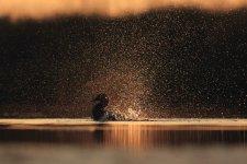 Jakub Spodymek fotografia przyrodnicza ptaki głowienka kaczka rdzawogłowa czerwonoszyja kasztanowata Aythya ferina