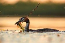 Jakub Spodymek fotografia przyrodnicza ptaki perkoz dwuczuby Podiceps cristatus