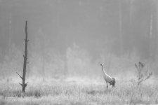 Jakub Spodymek fotografia przyrodnicza ptaki żuraw grus rezerwat jeleniak