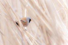 Jakub Spodymek fotografia przyrodnicza ptaki wąsatka Panurus biarmicus