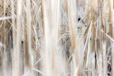 Jakub Spodymek fotografia przyrodnicza ptaki potrzos