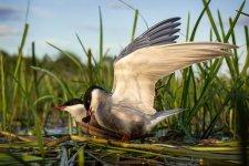 Jakub Spodymek fotografia przyrodnicza ptaki rybitwy białowąse