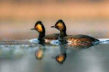 Jakub Spodymek fotografia przyrodnicza ptaki perkoz zausznik Podiceps nigricollis