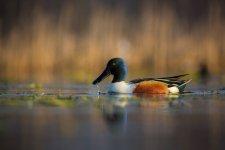 Jakub Spodymek fotografia przyrodnicza ptaki płaskonos
