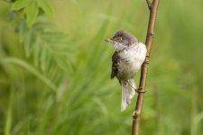 Jakub Spodymek fotografia przyrodnicza ptaki jarzębatka