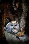 Jakub Spodymek fotografia przyrodnicza ptaki sowa dziupla puszczyk zwyczajny Strix aluco