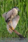 Jakub Spodymek fotografia przyrodnicza ptaki ślepowron Nycticorax nycticorax