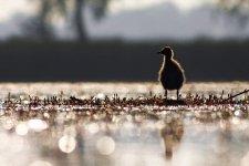 Jakub Spodymek fotografia przyrodnicza ptaki mewa śmieszka pisklę Chroicocephalus ridibundus