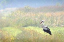 Jakub Spodymek fotografia przyrodnicza ptaki bocian biały Ciconia ciconia