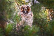 Jakub Spodymek fotografia przyrodnicza ptaki sowa uszata uszatka zwyczajna Asio otus