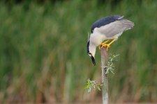 Jakub Spodymek fotografia przyrodnicza ptaki ślepowron Nycticorax nycticorax ptak
