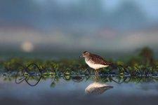 Jakub Spodymek fotografia przyrodnicza ptaki ptak łęczak brodziec leśny Tringa glareola