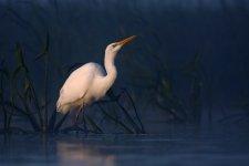 Jakub Spodymek fotografia przyrodnicza ptaki czapla biała Ardea alba strzałka wodna