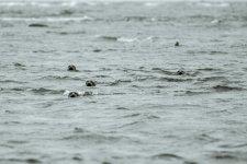 Jakub Spodymek fotografia przyrodnicza foki foka ssaki Rezerwat przyrody Ottenby Olandia wyspa Szwecja