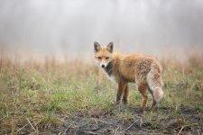 Jakub Spodymek fotografia przyrodnicza ssaki lis rudy Vulpes