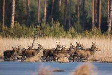 Jakub Spodymek fotografia przyrodnicza jeleń łania jeleniak lasy lublinieckie