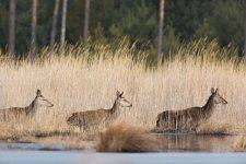 Jakub Spodymek fotografia przyrodnicza jeleń łania